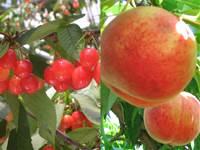 フルーツ大好き! さくらんぼ&ももW狩り!八ヶ岳山麓癒しのアルパカに会いに行こう♪
