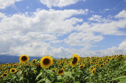 夏満開!旬のフルーツ狩りと高原野菜&イタリアンのランチバイキングに明野ひまわり畑<サンフラワーフェス2016>へ行こう♪日帰りバスツアー