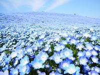 ひたち海浜公園へ青のハーモーニー「ネモフィラ」を見に行こう