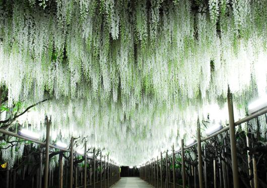 「あしかがフラワーパーク 藤の花」の画像検索結果