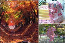 秋のやまなし満腹満足大満喫! 人気の桔梗信玄餅詰め放題と河口湖もみじ回廊&忍野八海散策にぶどう狩り♪日帰りバスツアー!