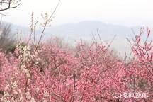 【茨城】いばらきうめー旅!早春を彩る筑波山梅まつりとあまーいイチゴ狩り♪絶品和牛ハンバーグランチ&あみプレミアム・アウトレットでショッピング