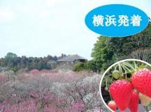 <横浜発>梅の香りに誘われて♪日本三名園『水戸偕楽園の梅まつり』・あま~いイチゴ狩り&那珂湊おさかな市場できままにランチ