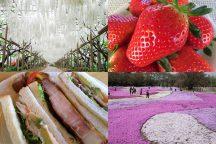 春真っ盛り!スカイベリー限定いちご狩り!【藤】【ネモフィラ】【芝桜】!あしかがフラワーパーク&東武トレジャーガーデン♪