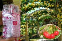 バラの花咲くハイジの村とスイス料理ビュッフェ&桔梗信玄餅の詰め放題♪さくらんぼ狩り園内食べ放題!