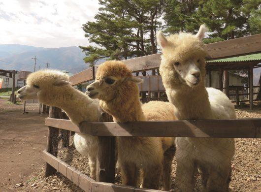 八ヶ岳アルパカ牧場