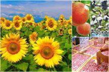 やまなしの夏!明野ひまわり畑とハイジの村スイス&甲州郷土料理ビュッフェ・《大人気》桔梗信玄餅の詰め放題♪旬のフルーツ狩りも楽しもう!
