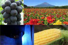 残暑に負けるな!富士山麓でひんやり洞窟プチ探検&トウモロコシの収穫体験に絶景のお花畑♪ぶどうの王様『巨峰狩り』と富士溶岩焼きランチでパワーチャージ!