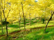 輝け秋色!まるで別世界黄金色に輝くアカシアの丘と秋の3大食べ放題ランチ&ぶどう狩り園内食べ放題