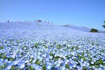 ≪GW出発あり≫一生に一度はみたい!青の奇跡!約450万本の【ネモフィラ】が咲くひたち海浜公園!あみプレミアム・アウトレット&メロン1玉お持ち帰り♪