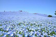 一生に一度はみたい!青の奇跡!約450万本の【ネモフィラ】が咲くひたち海浜公園!あみプレミアム・アウトレット&メロン1玉お持ち帰り♪
