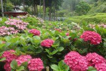 宇治花ごよみ・紫陽花寺と情緒あふれる京都嵐山散策 日帰りバスツアー