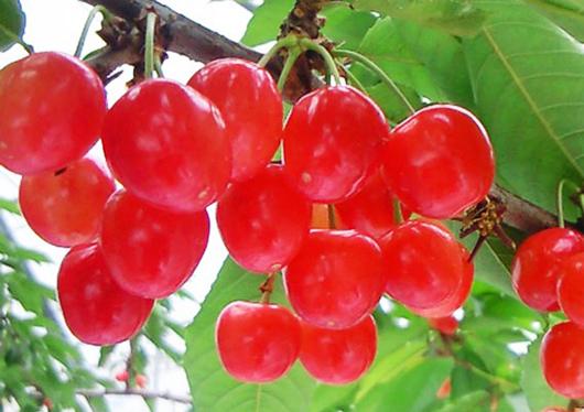 【山梨】見た目も愛らしい旬のさくらんぼ狩りと日本一長いバラの回廊とワイナリーを訪ねる日帰りバスツアー