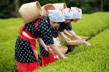 コスプレ体験!?茶摘み衣装で新茶摘み♪桜海老釜まぶし御膳の昼食&旬のフルーツでオムレット作り体験で満喫♪