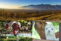 八ヶ岳南麓秋の浪漫紀行 絶景の紅葉を眺める天空の遊覧カートと癒しの王国『八ヶ岳アルパカ牧場』・高原野菜&イタリアンバイキングとぶどう狩り♪