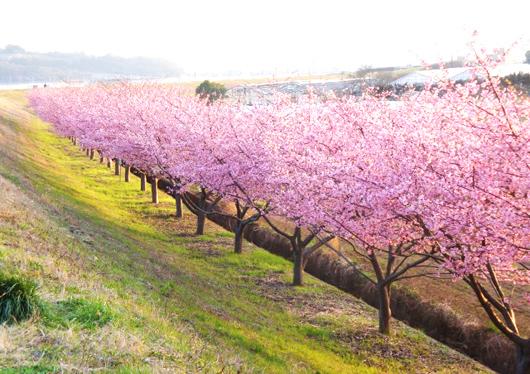 新名所「かんなみの桜まつり」とイチゴ狩り食べ放題!写真映えスポット「三島スカイウォーク」を歩こう♪