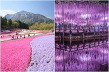 GW花満開!ピンクのじゅうたん♪秩父羊山公園『芝桜の丘』とあしかがフラワーパーク神秘的な夜空間♪ライトアップ「ふじのはな物語」