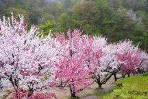 富士見台高原の水芭蕉と阿智村の花桃観賞へ行く日帰りバスツアー