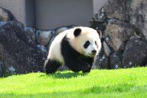 可愛いパンダに会いに行こう♪GO、GO「アドベンチャーワールド!」
