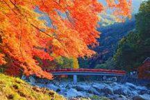 【天むすのお弁当付】全国屈指の紅葉の名所・香嵐渓と小原の四季桜を訪ねる日帰りバスツアー