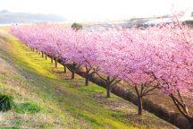 新名所「かんなみの桜まつり」とイチゴ狩り食べ放題&いちごみるく作り体験!写真映えスポット「三島スカイウォーク」を歩こう♪