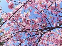 【牡蠣カバ丼の昼食付】御前崎・海鮮なぶら市場といちご狩りと河津桜を見る春爛漫日帰りバスツアー