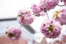 【お弁当付き】お花見特集・130種類の桜はここだけ!大阪造幣局桜の通り抜け 日帰りバスツアー