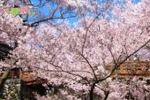 【牛すき焼き鍋と桜御膳の昼食付】長野・お花見特集・高遠の小彼岸桜 日帰りバスツアー