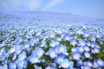 一生に一度はみたい!青の奇跡!約450万本の【ネモフィラ】が咲くひたち海浜公園!『しゃも釜飯御膳』の昼食とあみプレミアム・アウトレットでお買い物を満喫♪