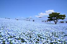 一生に一度はみたい!青の奇跡!約450万本の《ネモフィラ》が咲くひたち海浜公園!&茨城名物《しゃも釜飯御膳》の昼食&あみプレミアム・アウトレットでお買い物♪