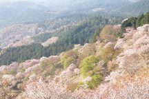 約200種類、3万本。世界でも類を見ない「一目千本」の絶景『吉野の桜』約180分たっぷり滞在&奈良名物「柿の葉寿司」付き♪