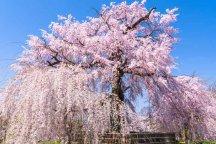 【出発保証・昼食付】春の京都清水と祇園ぶらり・京都の桜を訪ねる日帰りバスツアー