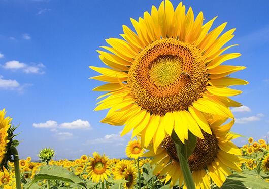 「ひまわりじゅうたん」は圧巻。夏の青い空に美しく咲き誇る「笠岡ひまわり畑」&倉敷美観地区、日本のエーゲ海・牛窓オリーブ園♪