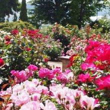 ハーブ庭園 春バラ