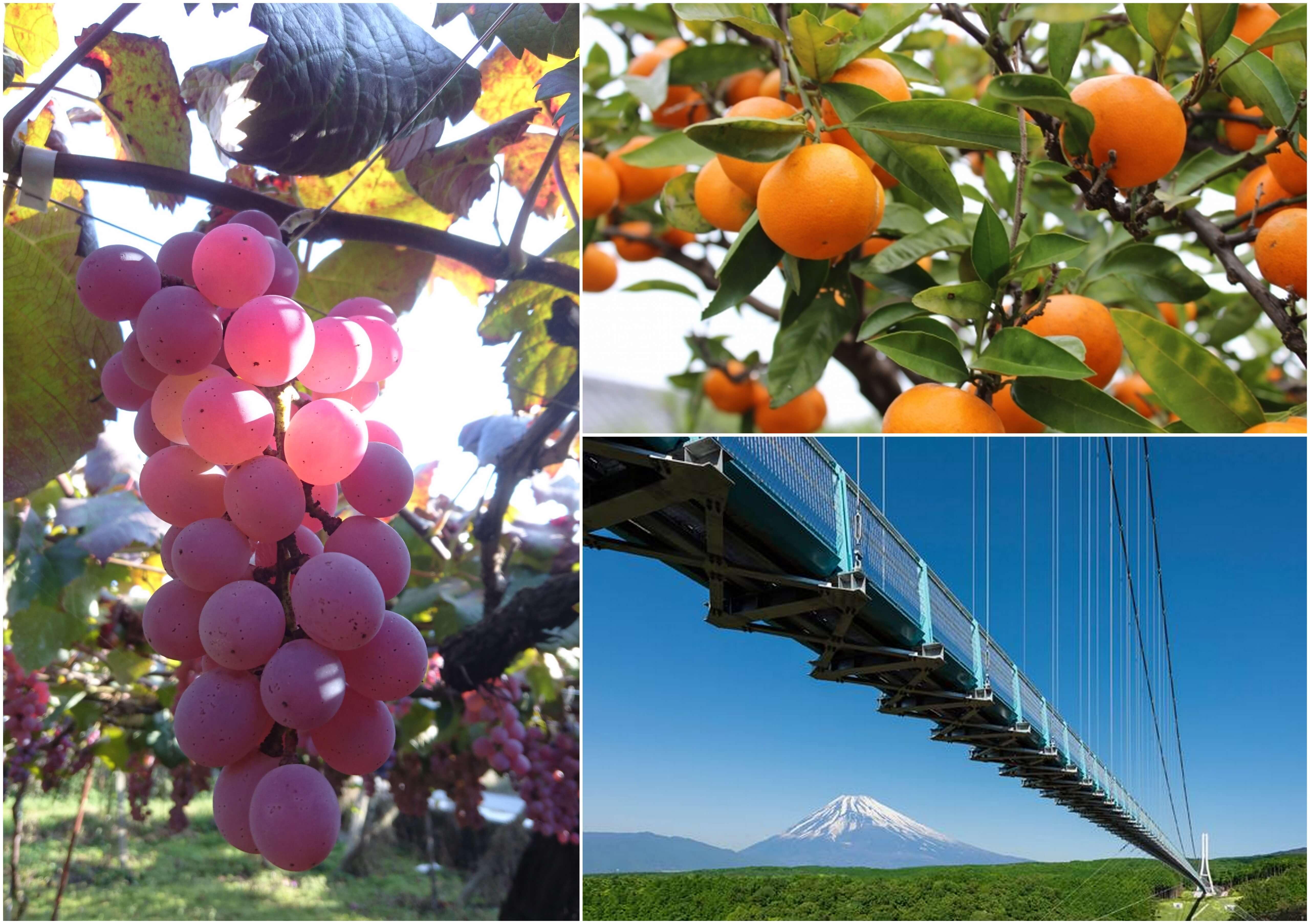フルーツ大好き-秋-! ぶどう狩り&みかん狩りW食べ放題♪ 富士を望む日本最長の絶景吊り橋『三島スカイウォーク』