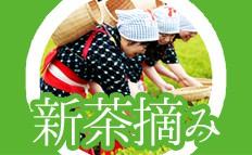 茶摘み衣装で茶摘み体験